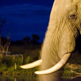 Night Patrol by Vanessa Meyer - Animals Other Mammals ( pachyderm, elephant, night, africa, tusks, skin )