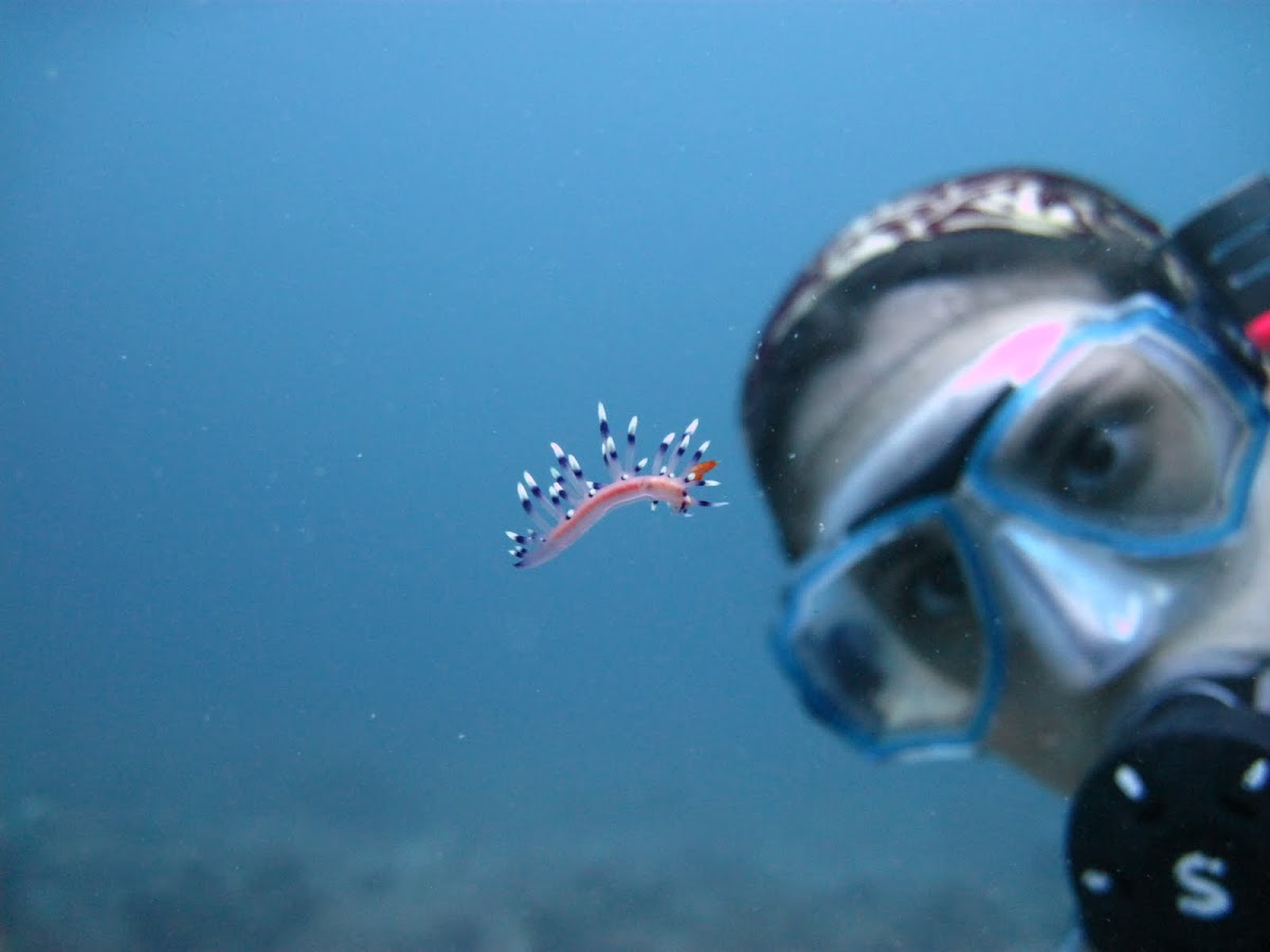 Much Desired Flabellina Nudibranch