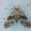 Western Poplar Sphinx Moth