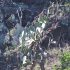 Prickly pear cactus,   Panini