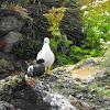 Kelp Goose / Caranca