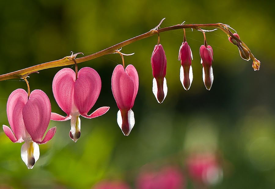 Bleeding Heart by Arnaldo Ronca - Flowers Flowers in the Wild (  )
