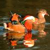 Mandarin ducks (couple)