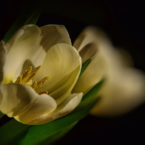 Echo by Liz Crono - Flowers Single Flower ( tulips, flowers, light )