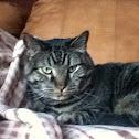 Domestic Tabby Medium Haired House Cat