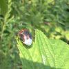 Black-Red Stink Bug