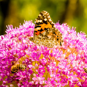 Flowers populated by bees and a butterfly by Valics Lehel - Flowers Single Flower ( butterfly, bees, bee, garden, flower )