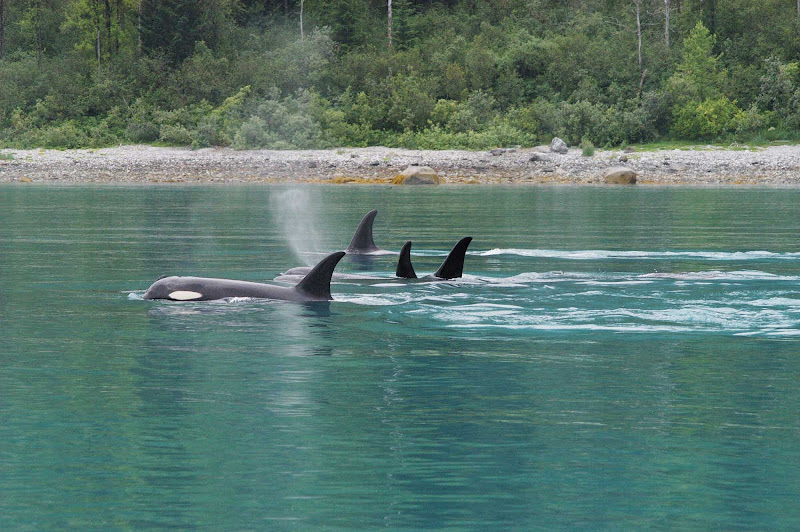 Orcas in Glacier Bay National Park, Alaska.