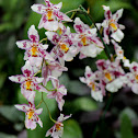 Odontoglossum or an Oncidium