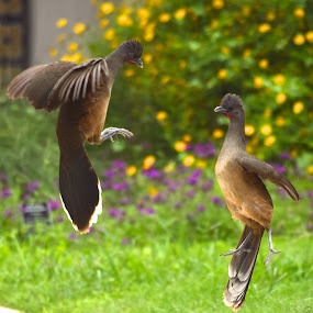 Plain Chachalaca Cock Fight by David Montemayor - Animals Birds
