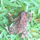 Atukorale's Dwarf Toad?