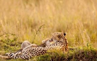 Screenshot of cheetah HD Wallpaper