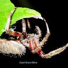 Hentz's Orbweaver Spider