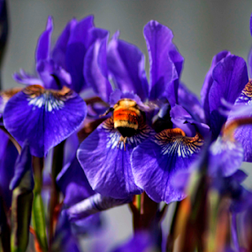 Delving for Necture by Valerie Aebischer - Flowers Flower Gardens ( iris flowers and bees, bumble bee, bumblebee, bumblebees, bumble bees,  )