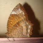 common palmfly-female