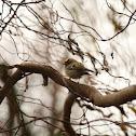 Králik zlatohlavý