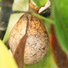 Black-and-Yellow Garden Spider Egg Sack