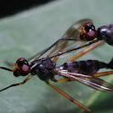 Stilt-legged flies  Micropezidae