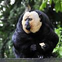Sneaky Monkey Live Wallpaper icon