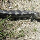 blotched blue-tongued lizard