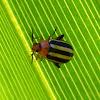 Palestriped Flea Beetle
