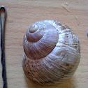 Burgundy snail (Weinbergschnecke)