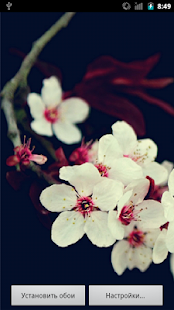 Oriental cherry HQ LWP