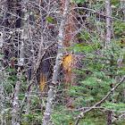Bear Marks on Trees