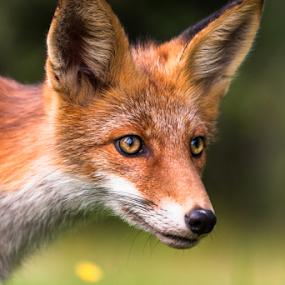 foxy face by Eriks Zilbalodis - Animals Other Mammals ( wild, fox, nature, portrait, animal )