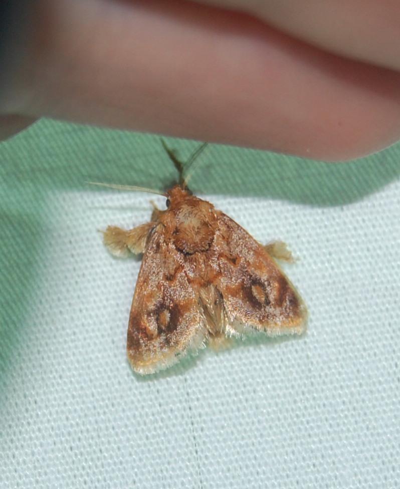 Spun Glass Slug Moth