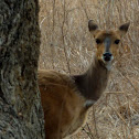 Bushbuck (female)