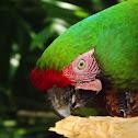 Guacamaya Verde