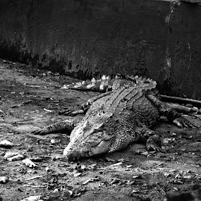 Mr.Croc by Sheeik Mohideen P - Animals Amphibians ( black and white, crocodile, amphibian, powerful,  )