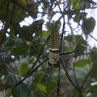 Batik Golden Web Spider (♀)