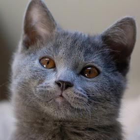 Chartreux kitten by Serge Ostrogradsky - Animals - Cats Kittens ( cat, kitten, chartreux, chaton,  )