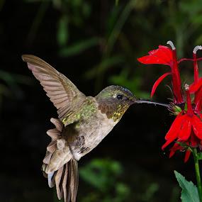 by Lyle Gallup - Animals Birds ( bird, wild, hummingbird, flower, , fly, flight )