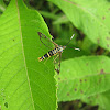 Willow Borer Clearwing Moth