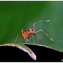 Ant mimic crab spider