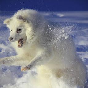 Fierce Determination by Melanie Melograne - Animals - Dogs Playing ( playing, winter, dogs, seasonal, american eskimo, snow, pets, , #GARYFONGPETS, #SHOWUSYOURPETS )