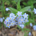 Blue forget-me not