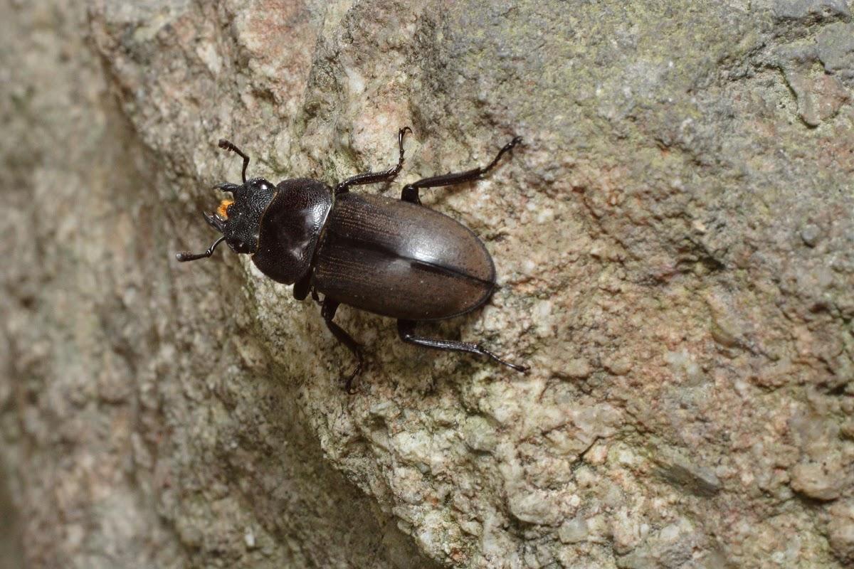 Lesser Stag Beetle, female