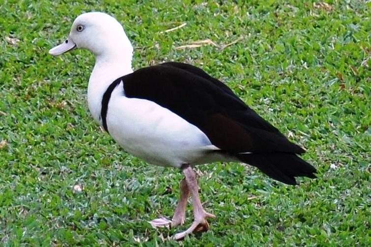 Burdekin Duck (Radjah Shellduck)