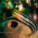 Combtooth Blenny