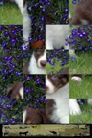 Screenshot of Dog Puzzle: Border Collie