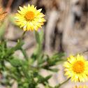 Paper Daisy, Golden Everlasting or Strawflower