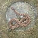 Night snake