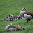 Egyptian goose (Nijlgans)