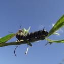 Monarch butterfly catterpillar