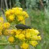 Black Blister Beetle