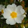 Sage-leaved Rock Rose (Λαδανιά η φασκομηλόφυλλη)